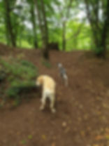 Labrador and Whippet on woodside adventure walk with Time 4 A Walk dog walking service