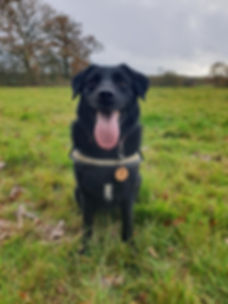 Lab cross dog out with Time 4 A Walk dog walking service in CoalpitHeath.