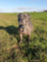 Staffy in field in Coalpit Heath whilst out wit Time 4 A Wallk dog walking service