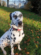 Dalmatian sat in park whilst out with Time 4 A Walk dog walking service