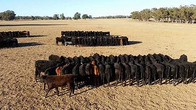 Cattle feeding 1.jpg