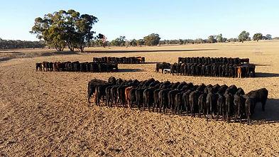 Cattle feeding 4.jpg