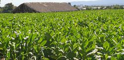 Tabakplantage Cibao-Tal