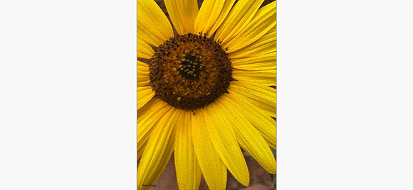 Sunflower Energy By Irene Griego