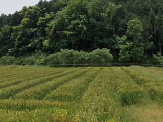 今しぼり醤油の原材料 小麦の収穫と大豆の種まきの時です!
