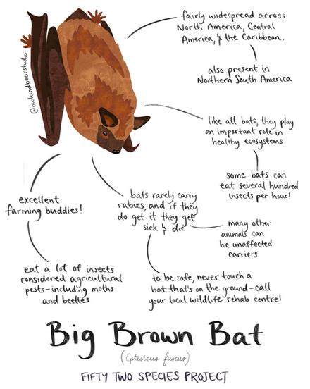 52species big brown bat fixed.png