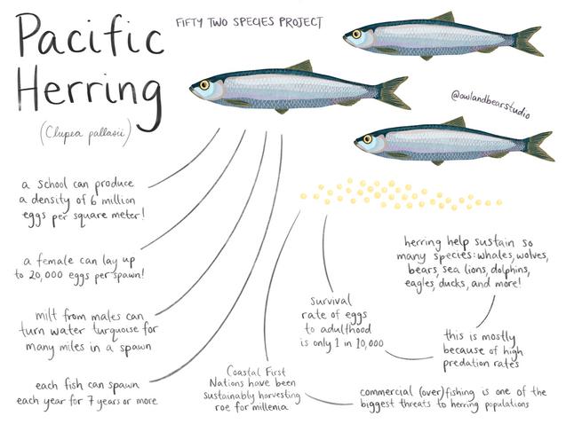 herring 52species.png