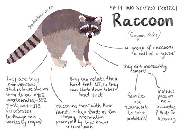 52species raccoon.png