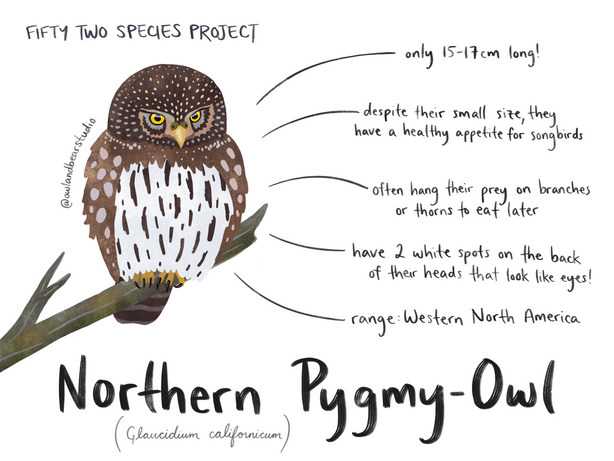 northern pygmy owl 52species.png