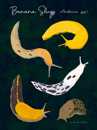 banana slugs smaller.jpg