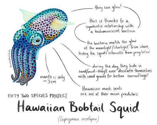 52species bobtail squid.png