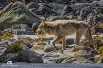Coastal Wolves: Beauty and Peril