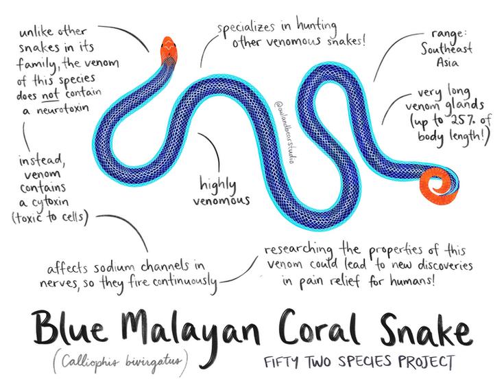 blue coral snake 52species.png