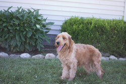Piper_Mini Goldendoodle