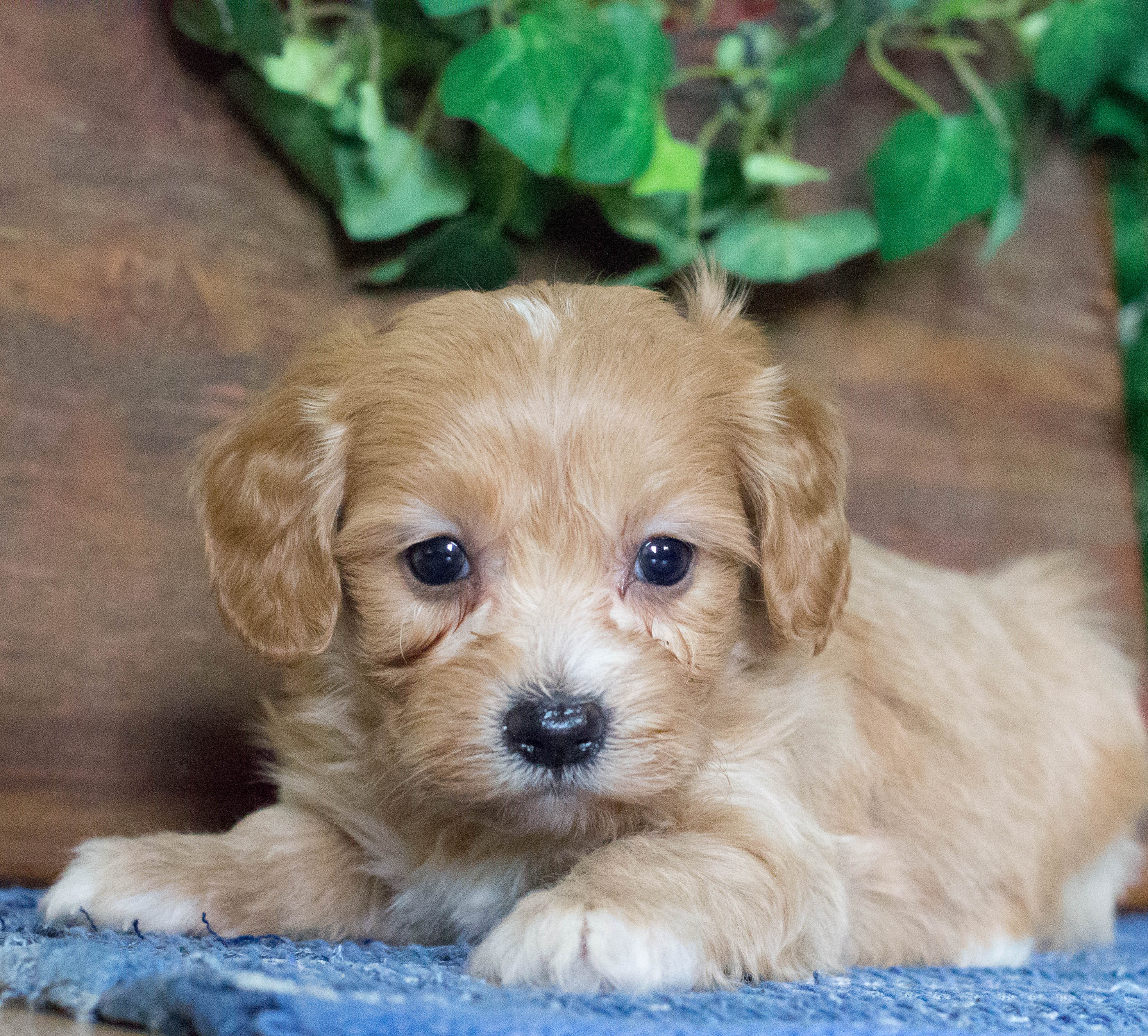 Country Acres Puppies | Small Family Breeder | Central IL
