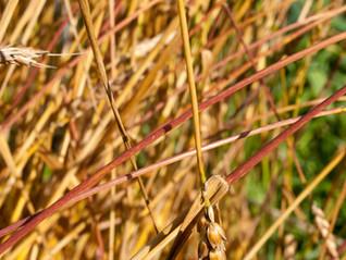 Heritage Wheat and Human Health