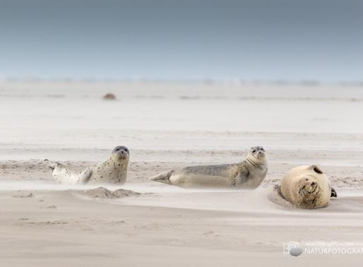 Fotoworkshop Nordseeinsel Pellworm - Ein Ausflug zu den Seehunden