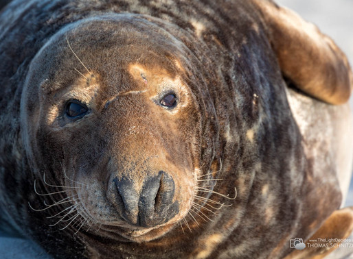 Kegelrobben und Seehunde auf Helgoland