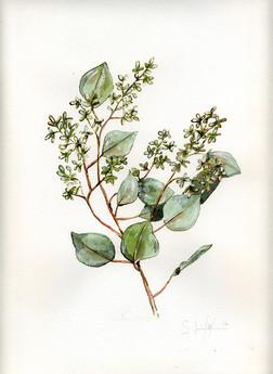 Seeded Eucalyptus_s.jpg