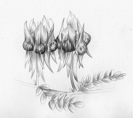 Sturt Desert Peas_Cropped_S.jpg