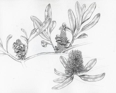 Banksia_Sketch_Cropped_s.jpg