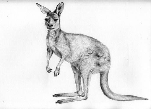 Kangaroo_s.jpg