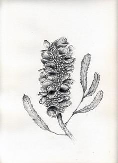 Banksia_s.jpg