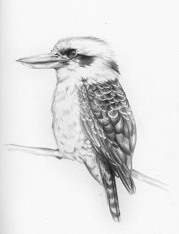 Kookaburra_Cropped_s.jpg