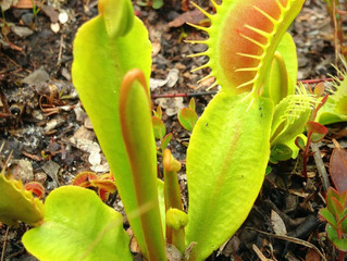 Volunteer Day at the Stanley Rehder Carnivorous Plant Garden