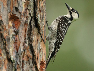 Informational Meeting for Endangered Woodpecker Recovery Work