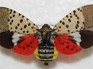 Pest Watch: The Spotted Lanternfly is Heading Our Way!