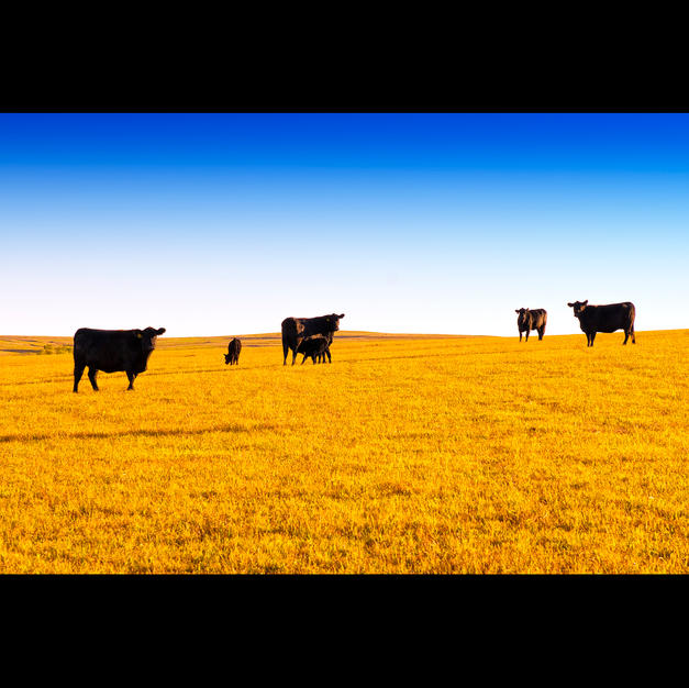 Six Cows Fall Round Up Flint Hills Mission Valley Ranch