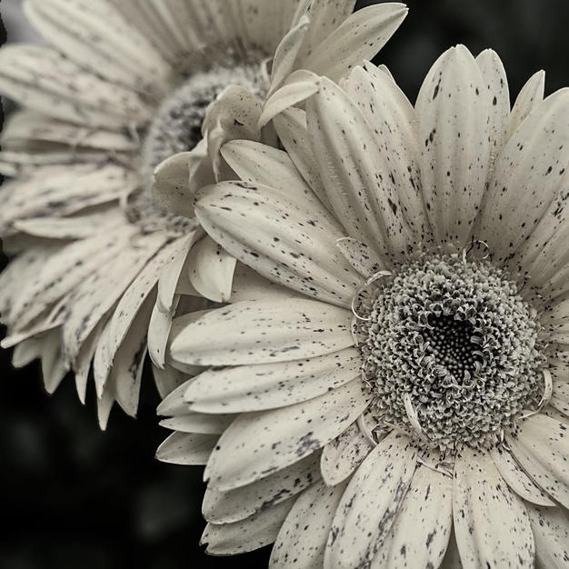 Freckled by Frost
