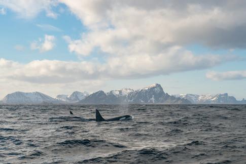 AndøyaWhales-5874.jpg