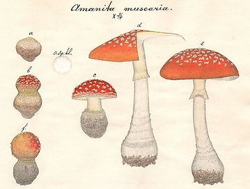 De Nederlandse paddenstoelenman Ferguson