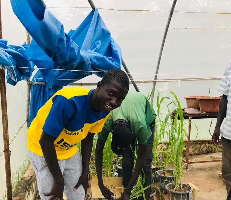 A student harvests his experiment evaluating the best manure placement in soil in order to refine the manure placement platform. The experiment is being implemented at ISRA National Centre of Agronomic Research of Bambey in Senegal