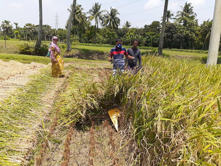 Harvesting with the reaper in Bangladesh during Covid-19 allowed farmers to manage the shortage of labor that was caused as a result of the pandemic