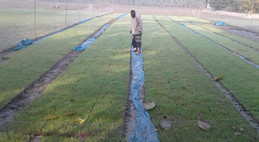 Seedling raising that will produce 1,800 trays to be transplanted by a rice transplanter, provided by ASMIH-Bangladesh, in Wazirpur, Barisal, Bangladesh.