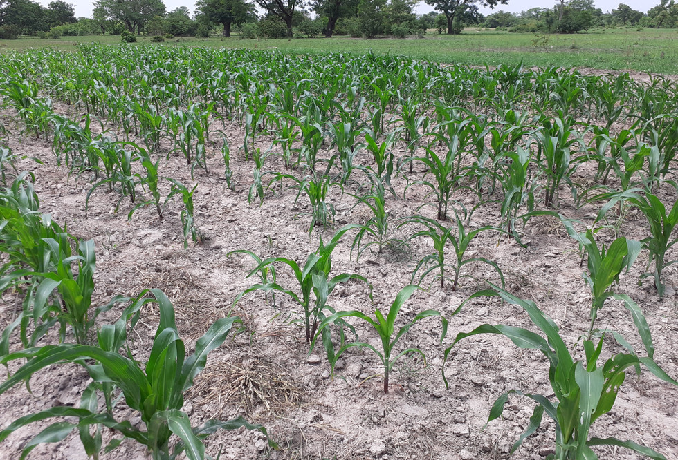 A maize field planted with the ASMC planter in Burkina Faso