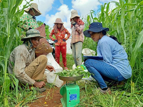 Interns weigh the green biomass in Cambodia