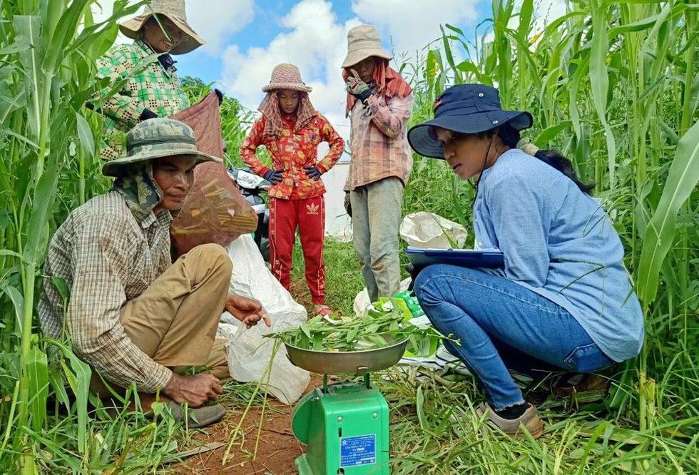Interns weigh the green biomass in Cambodia