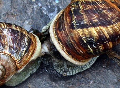 El engaño de los caracoles reproductores