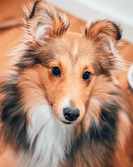 Ayani%20The%20Sheltie_edited.jpg
