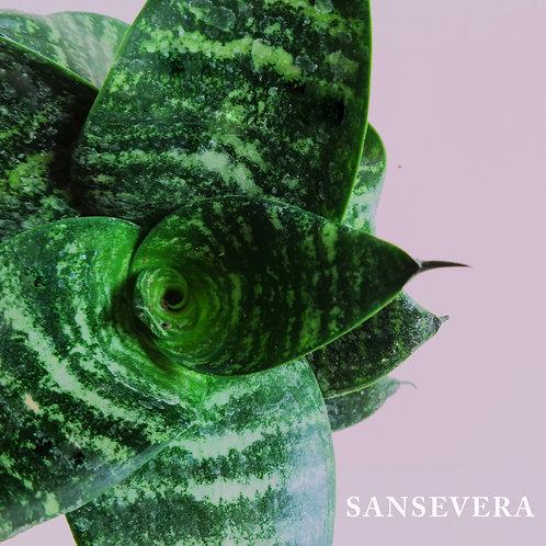 Sanseviera nana