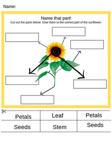 Parts of a sunflower