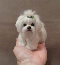 Gemma the tiny Maltese Puppy
