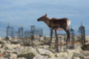 Illustation sur photo représentant l'urbanisation, sur une photo d'un caribou à l'Acropole-des-Draveurs dans le parc national des Hautes-Gorges de la rivière Malbaie