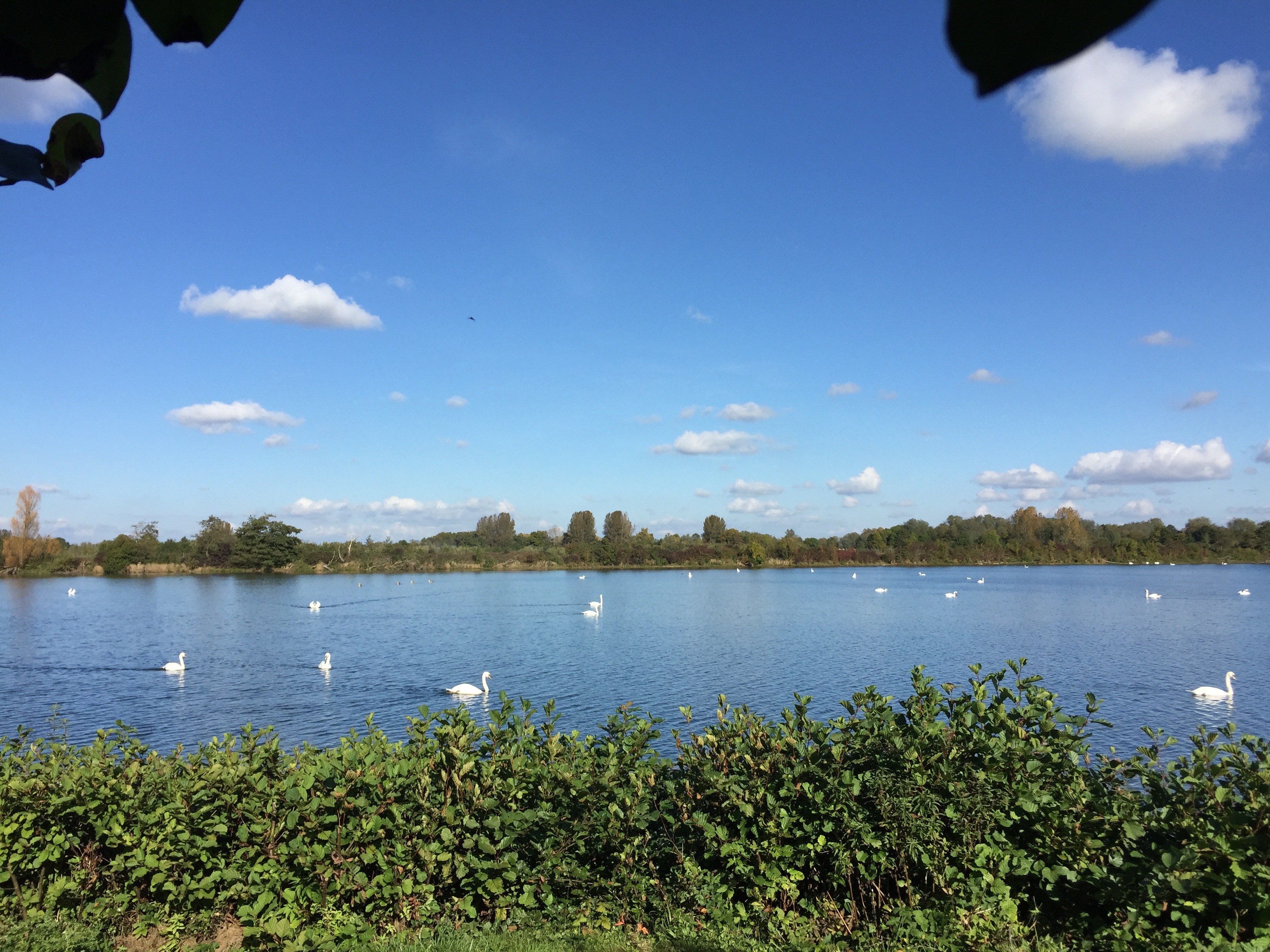 Swans on Flagham Fen