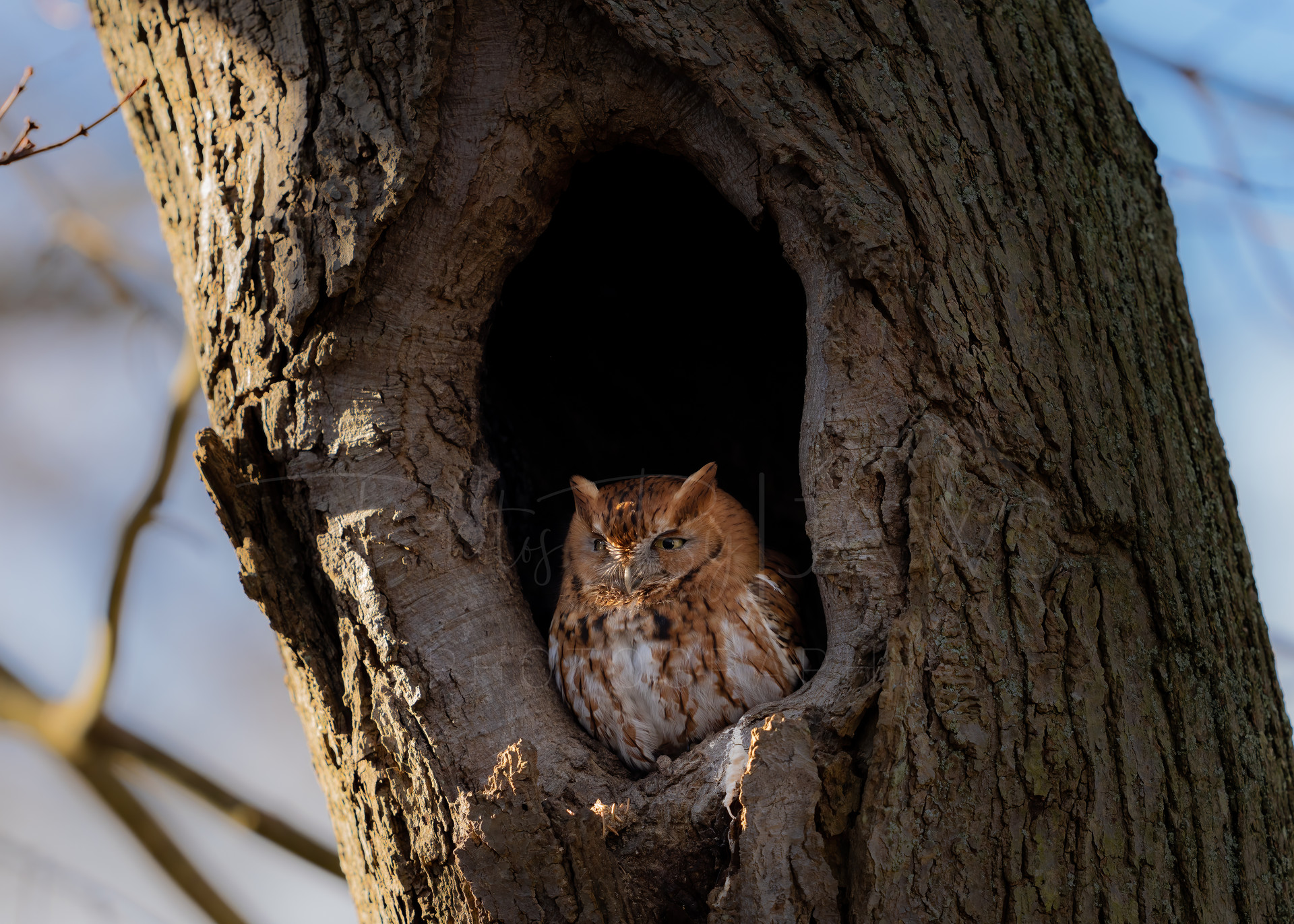 Red phase eastern screeh owl
