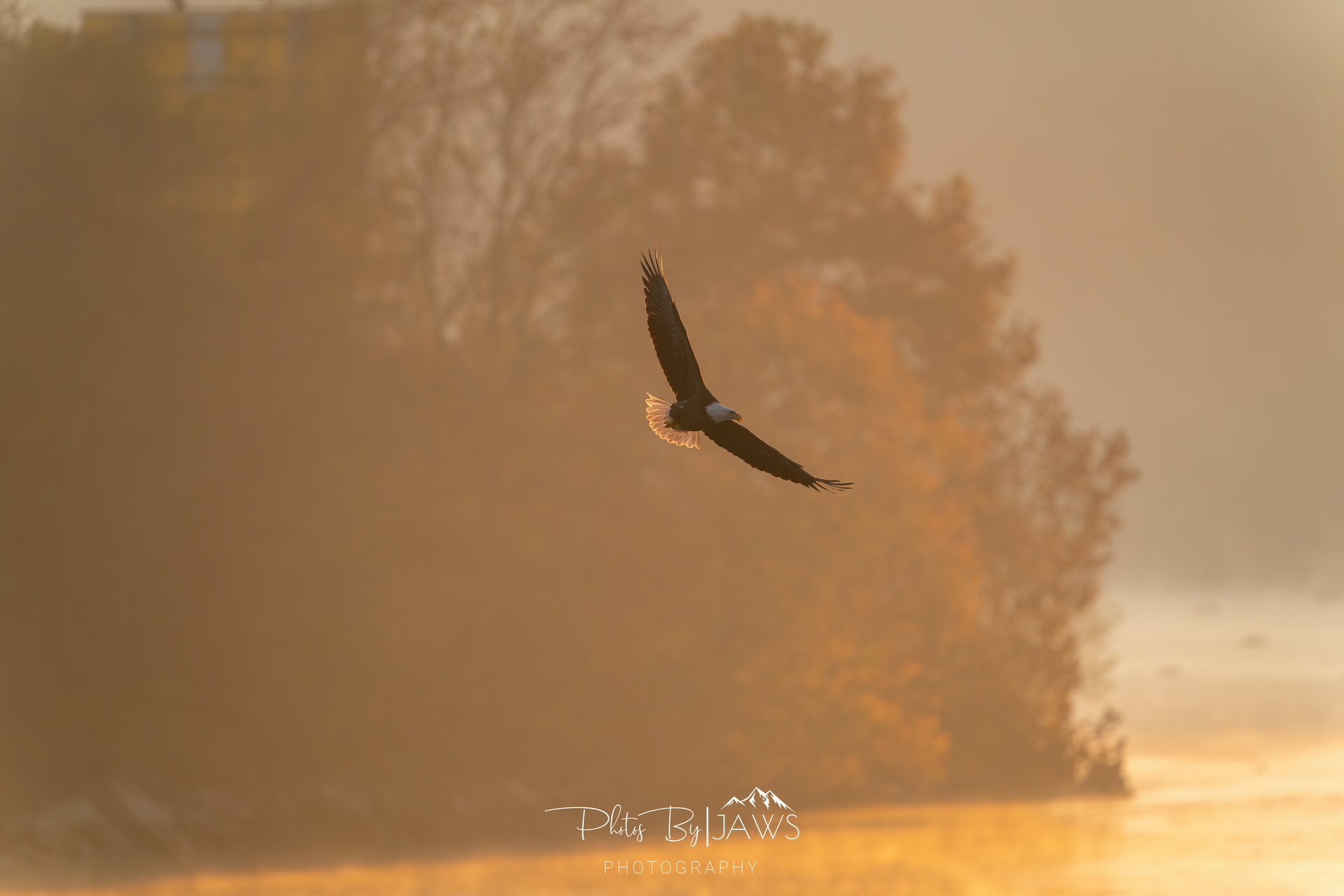 Bald eagle fishing during sunrise